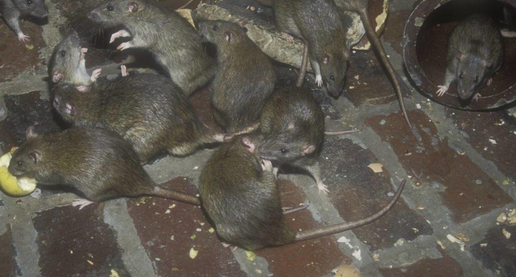 уничтожение крыс в Санкт-Петербурге